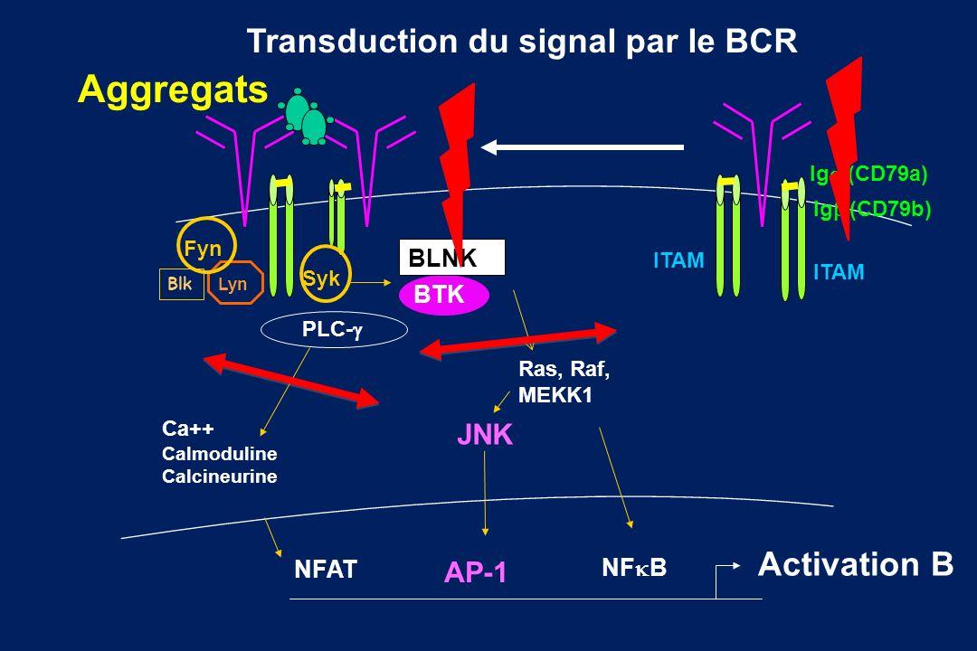 Lyn Fyn PLC- Ras, Raf, MEKK1 Ca++ Calmoduline Calcineurine NFAT JNK AP-1 NF B Activation B Blk Transduction du signal par le BCR Syk BTK BLNK Ig (CD79
