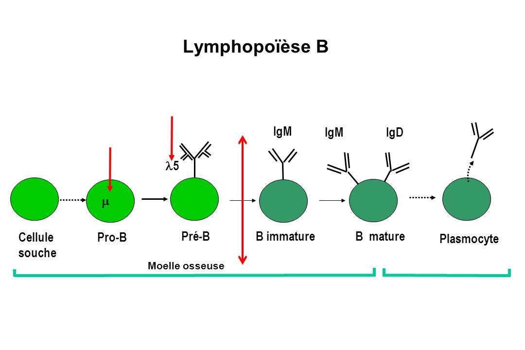 Lymphopoïèse B Plasmocyte Cellule souche Pro-B Pré-BB immatureB mature IgM IgD Moelle osseuse Périphérie 5