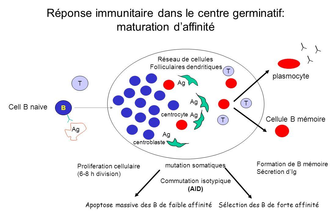 B T Ag mutation somatiques Commutation isotypique (AID) Proliferation cellulaire (6-8 h division) Ag Réponse immunitaire dans le centre germinatif: ma