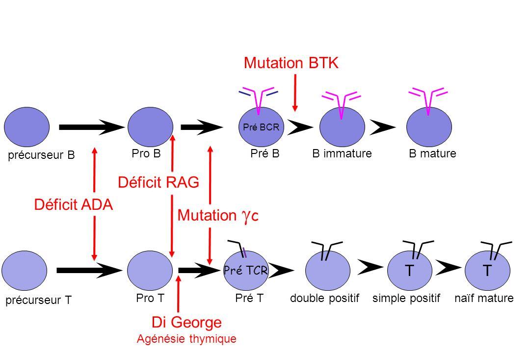 Lyn Fyn PLC- Ras, Raf, MEKK1 Ca++ Calmoduline Calcineurine NFAT JNK AP-1 NF B Activation B Blk Transduction du signal par le BCR Syk BTK BLNK Ig (CD79a) Ig (CD79b) ITAM Aggregats