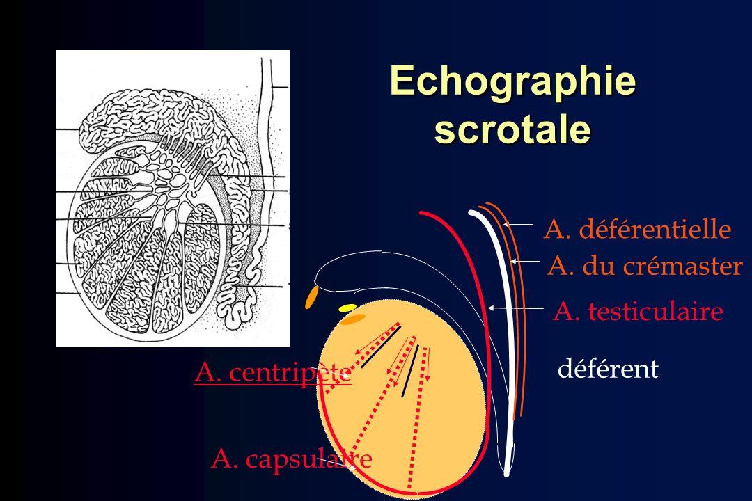 A. déférentielle A. testiculaire A. capsulaire A. centripète déférent A. du crémaster Echographie scrotale