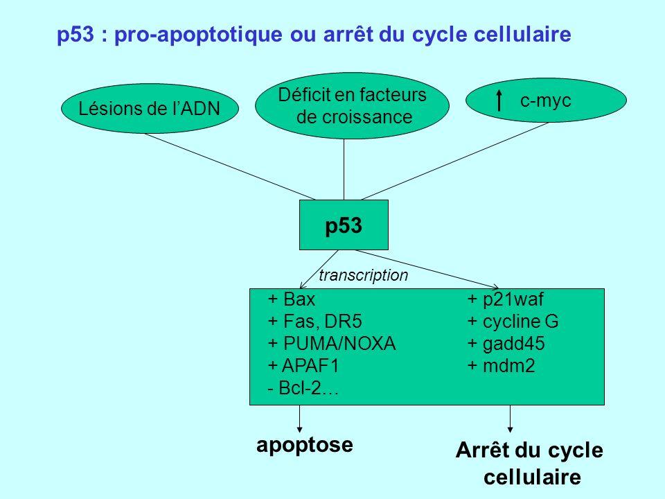 p53 : pro-apoptotique ou arrêt du cycle cellulaire Lésions de lADN Déficit en facteurs de croissance p53 c-myc + Bax+ p21waf + Fas, DR5+ cycline G + PUMA/NOXA+ gadd45 + APAF1+ mdm2 - Bcl-2… apoptose Arrêt du cycle cellulaire transcription