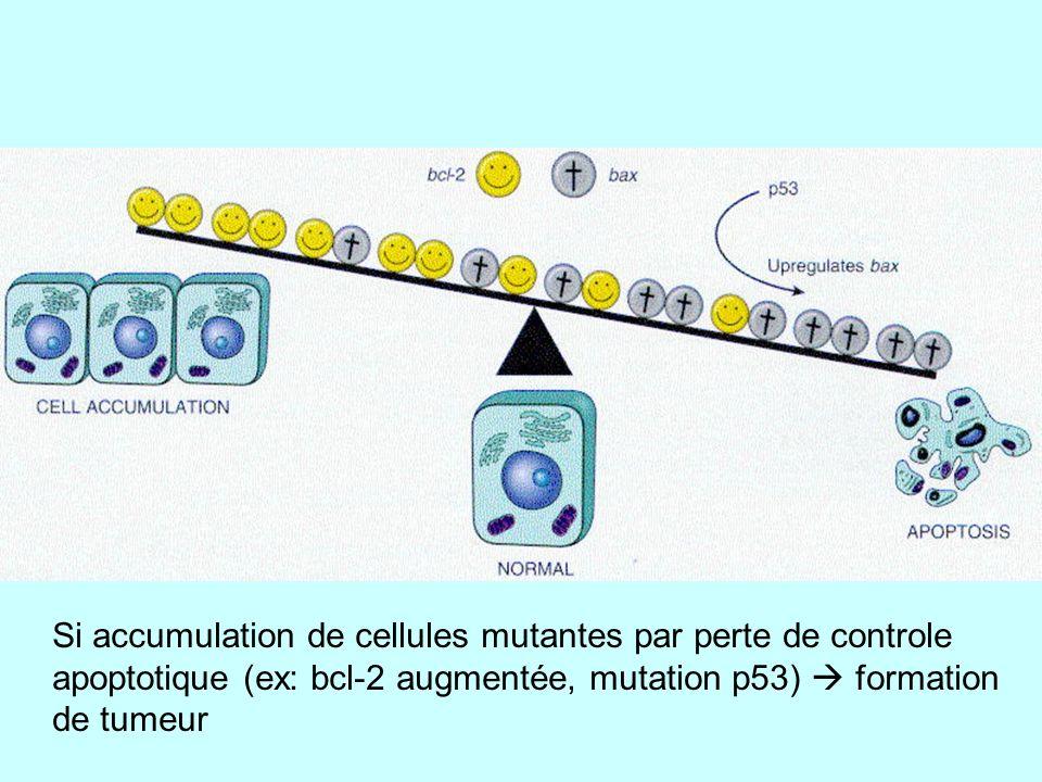 Si accumulation de cellules mutantes par perte de controle apoptotique (ex: bcl-2 augmentée, mutation p53) formation de tumeur