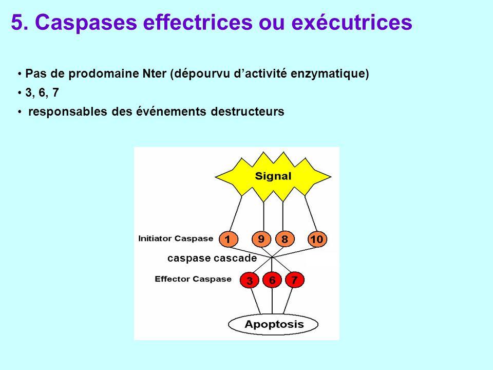 Pas de prodomaine Nter (dépourvu dactivité enzymatique) 3, 6, 7 responsables des événements destructeurs caspase cascade 5.