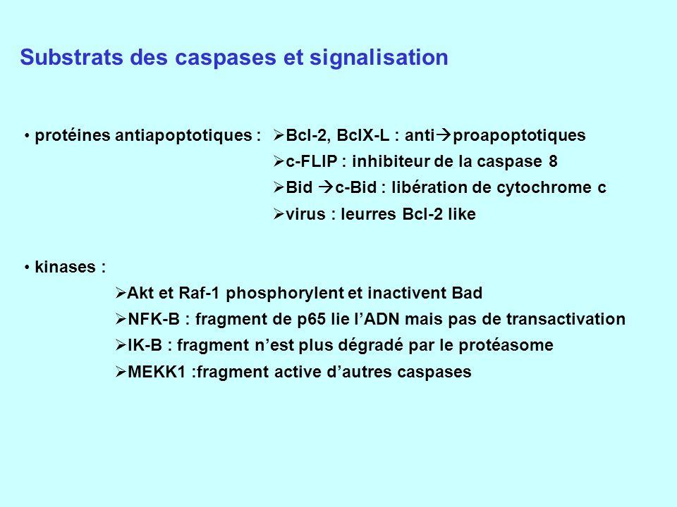 Substrats des caspases et signalisation protéines antiapoptotiques : kinases : Bcl-2, BclX-L : anti proapoptotiques c-FLIP : inhibiteur de la caspase 8 Bid c-Bid : libération de cytochrome c virus : leurres Bcl-2 like Akt et Raf-1 phosphorylent et inactivent Bad NFK-B : fragment de p65 lie lADN mais pas de transactivation IK-B : fragment nest plus dégradé par le protéasome MEKK1 :fragment active dautres caspases