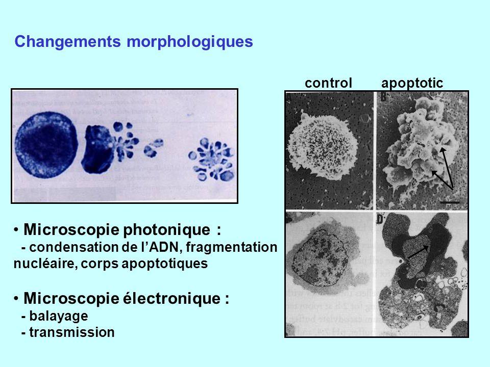 Changements morphologiques Microscopie photonique : - condensation de lADN, fragmentation nucléaire, corps apoptotiques Microscopie électronique : - balayage - transmission control apoptotic
