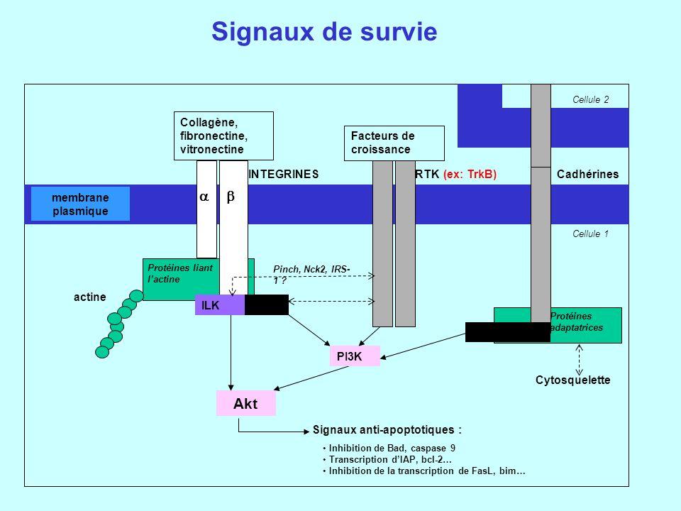 Signaux de survie Protéines liant lactine Collagène, fibronectine, vitronectine RTK actine Akt (ex: TrkB) Signaux anti-apoptotiques : membrane plasmique PI3K INTEGRINES FAKILK Facteurs de croissance Cadhérines -caténine Protéines adaptatrices Cytosquelette Pinch, Nck2, IRS- 1 .