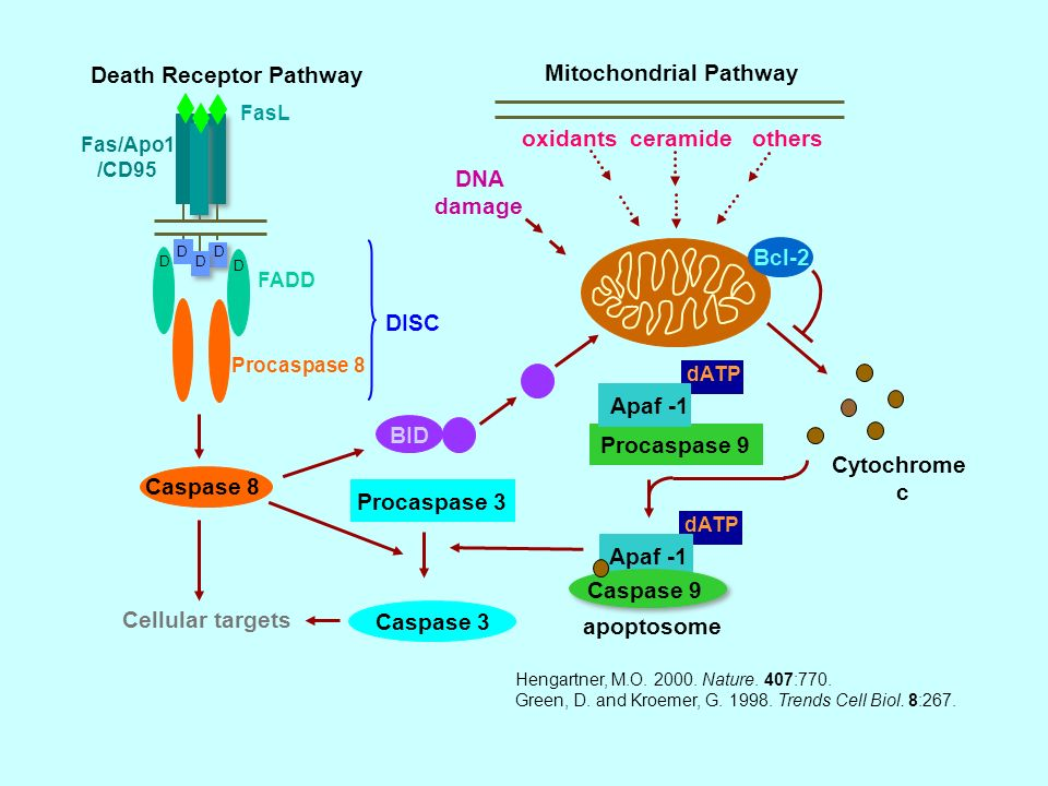 Hengartner, M.O. 2000. Nature. 407:770. Green, D. and Kroemer, G. 1998. Trends Cell Biol. 8:267. Mitochondrial Pathway Death Receptor Pathway FasL Cas