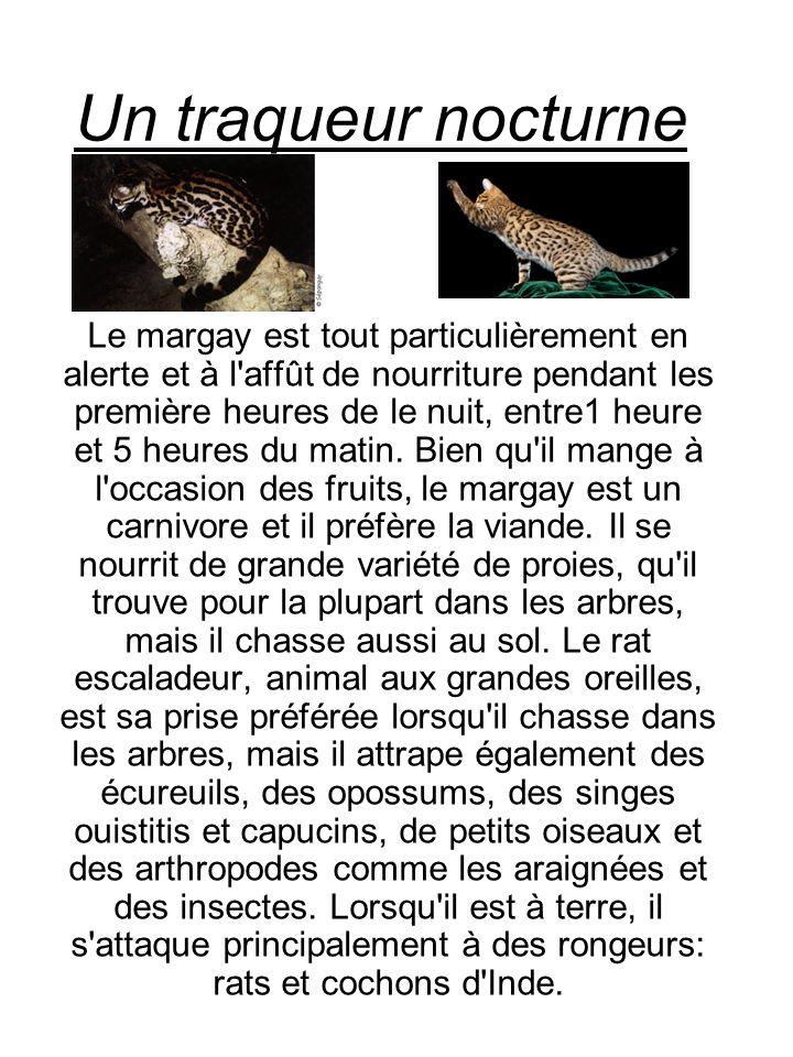 Un traqueur nocturne Le margay est tout particulièrement en alerte et à l'affût de nourriture pendant les première heures de le nuit, entre1 heure et