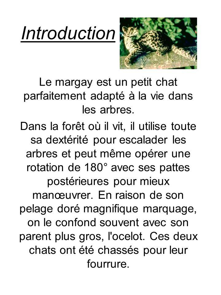 Introduction Le margay est un petit chat parfaitement adapté à la vie dans les arbres. Dans la forêt où il vit, il utilise toute sa dextérité pour esc