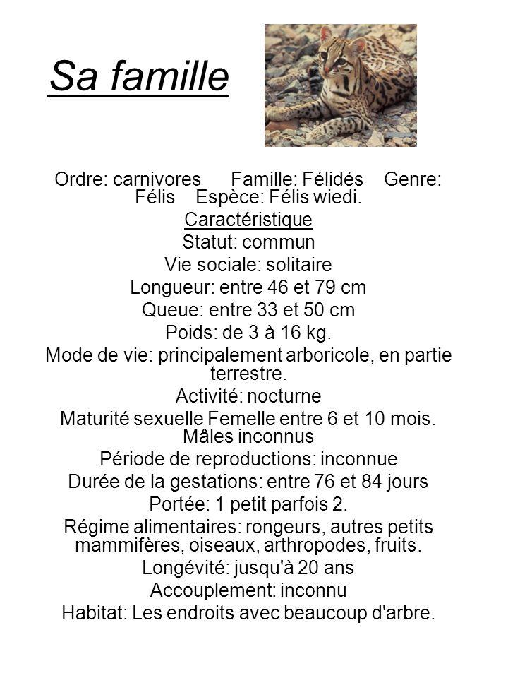 Son terrain de jeu Pour se qui est de grimper aux arbres, le margay surpasse n importe quel autre chat.