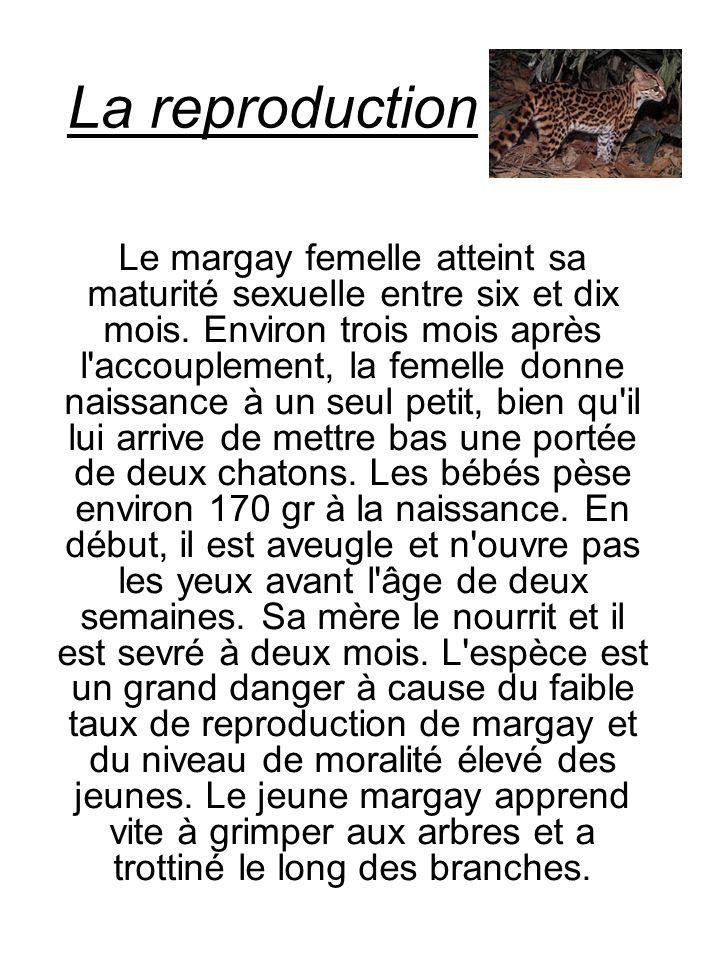 La reproduction Le margay femelle atteint sa maturité sexuelle entre six et dix mois. Environ trois mois après l'accouplement, la femelle donne naissa