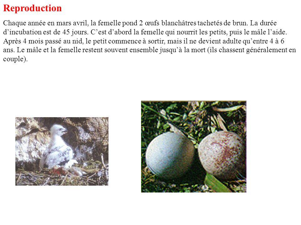 Ennemis : Son pire ennemi est lhomme qui le chassait beaucoup pour ses œufs et sa viande.