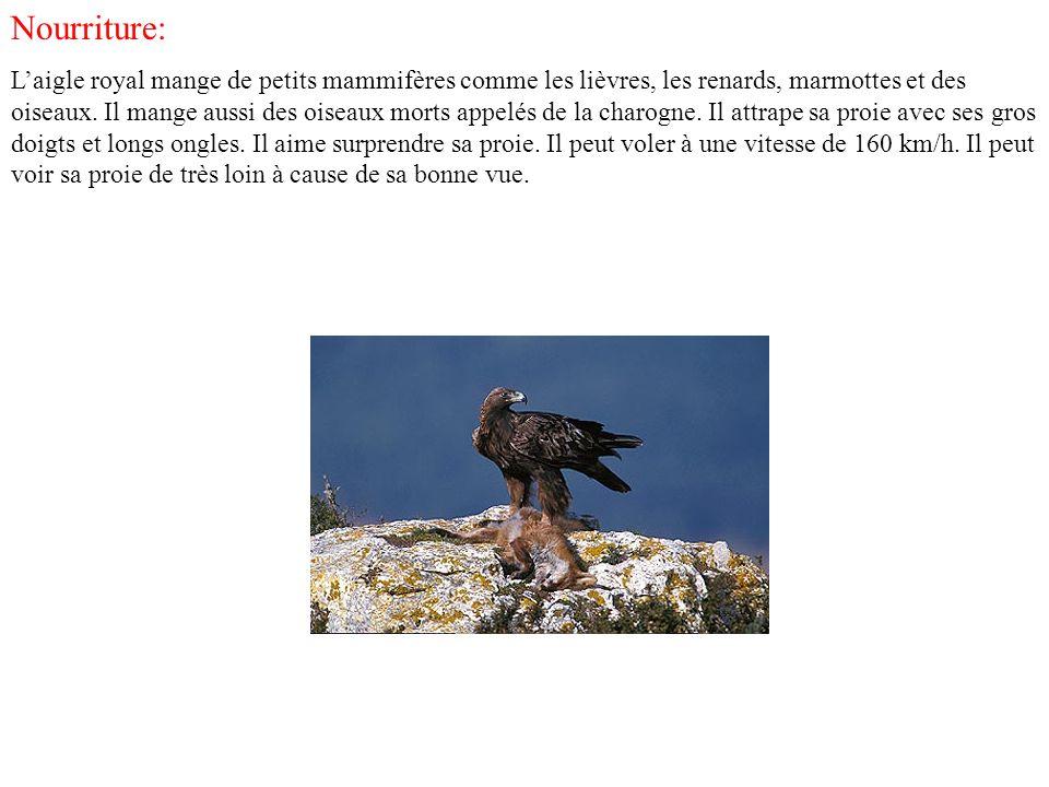 Mode de vie Laigle royal plane majestueusement de ses larges ailes déployées.