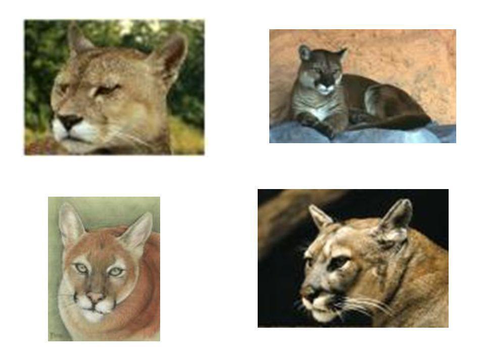 Tapez les félins sur Google.Cliquer sur les félins ou bien sur le lynx et les autres félins.