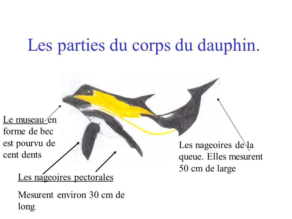 Les parties du corps du dauphin. Les nageoires pectorales Mesurent environ 30 cm de long. Les nageoires de la queue. Elles mesurent 50 cm de large Le