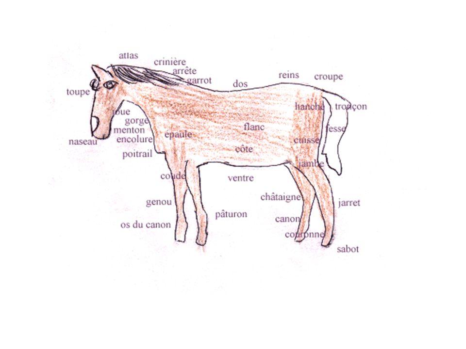 Le cheval Depuis sa domestication, le cheval a fait lobjet de plus de sélections que nimporte quel autre animal à lexeption du chien.