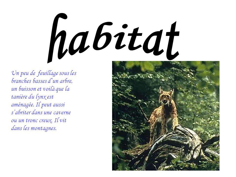 Un peu de feuillage sous les branches basses dun arbre, un buisson et voilà que la tanière du lynx est aménagée. Il peut aussi sabriter dans une caver