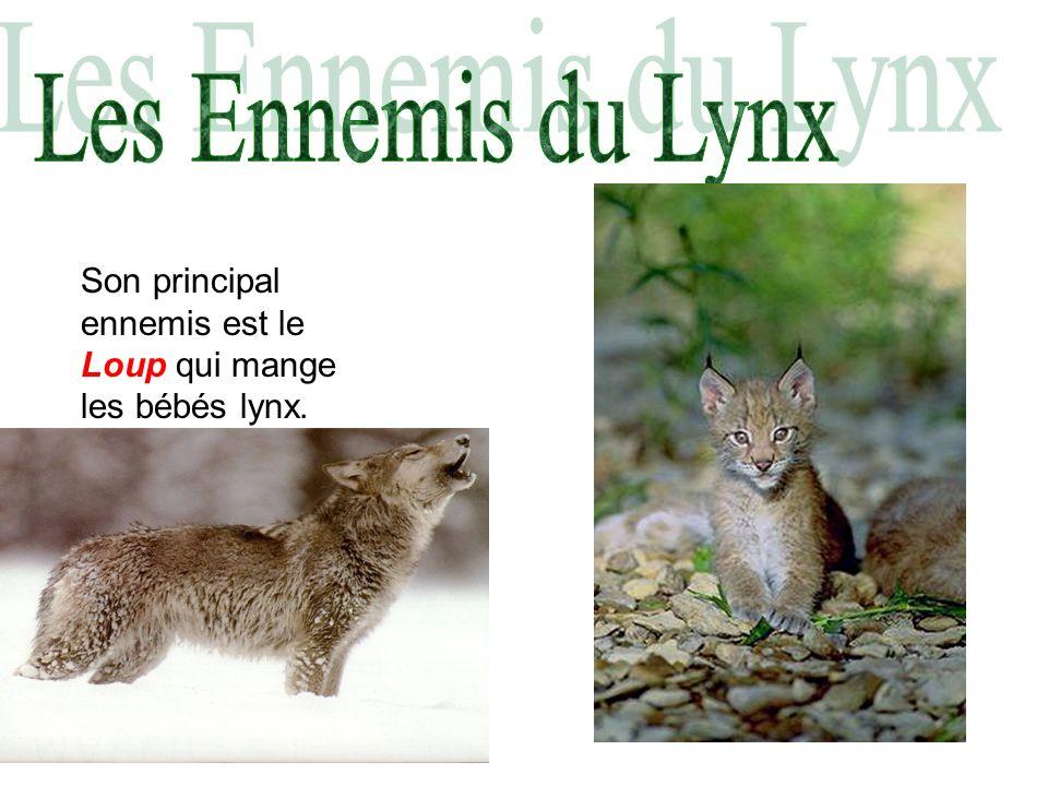 Son principal ennemis est le Loup qui mange les bébés lynx.