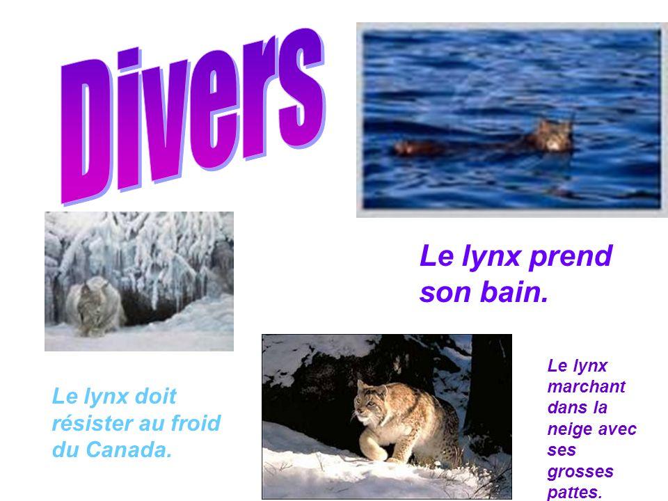 Le lynx prend son bain. Le lynx doit résister au froid du Canada. Le lynx marchant dans la neige avec ses grosses pattes.