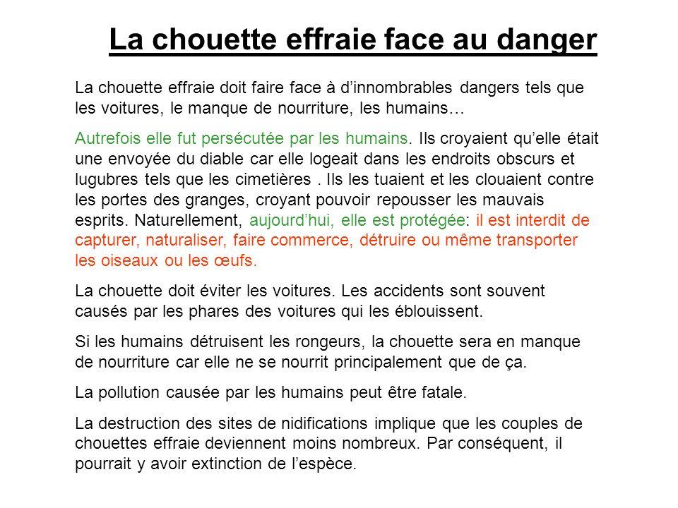 La chouette effraie face au danger La chouette effraie doit faire face à dinnombrables dangers tels que les voitures, le manque de nourriture, les hum