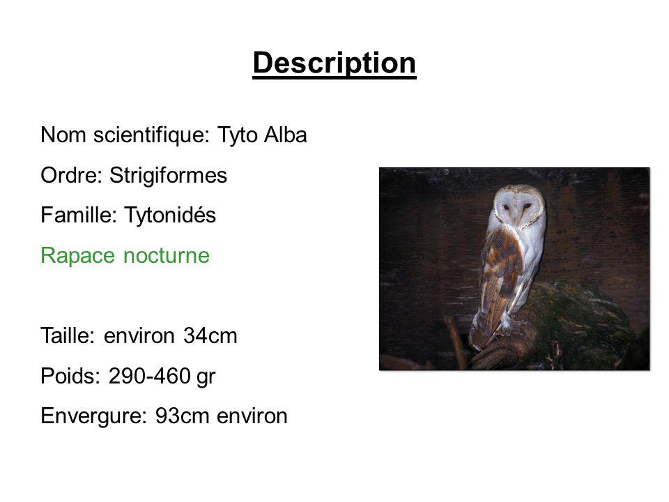 Description Nom scientifique: Tyto Alba Ordre: Strigiformes Famille: Tytonidés Rapace nocturne Taille: environ 34cm Poids: 290-460 gr Envergure: 93cm