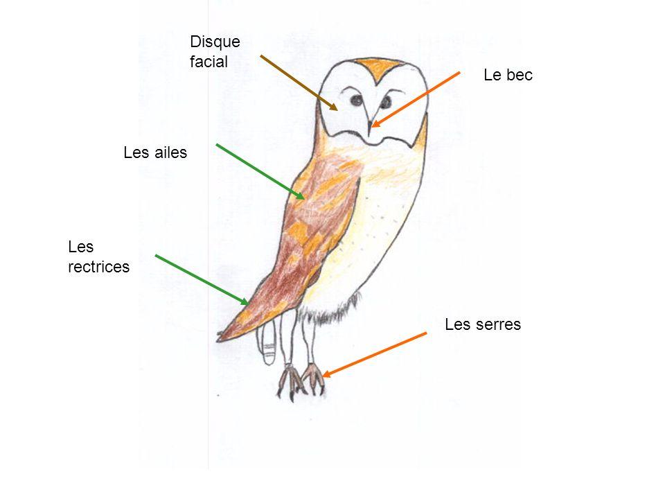 Les serres Disque facial Les ailes Le bec Les rectrices