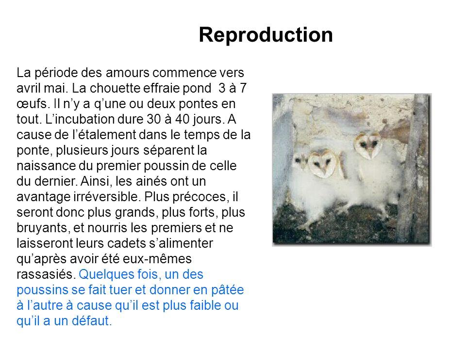 Reproduction La période des amours commence vers avril mai. La chouette effraie pond 3 à 7 œufs. Il ny a qune ou deux pontes en tout. Lincubation dure