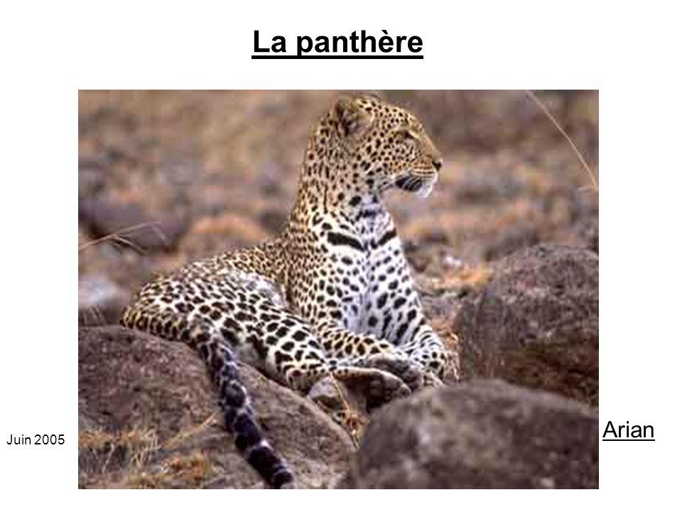 La panthère Ordre :Carnivore Classe : Mammifères Famille : Félidés Genre et espèce : Panthera Pardus Dimensions : Hauteur : 50 à 60 Longueur : 100-130 cm de la tête à la base, Poids : 65-80 kg Reproduction Maturité sexuelle: à 2 ans et demi.