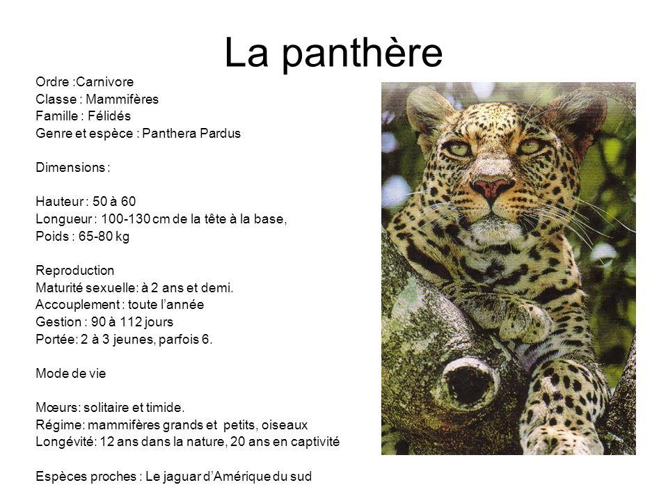 La panthère Ordre :Carnivore Classe : Mammifères Famille : Félidés Genre et espèce : Panthera Pardus Dimensions : Hauteur : 50 à 60 Longueur : 100-130
