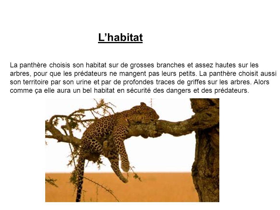 Lhabitat La panthère choisis son habitat sur de grosses branches et assez hautes sur les arbres, pour que les prédateurs ne mangent pas leurs petits.