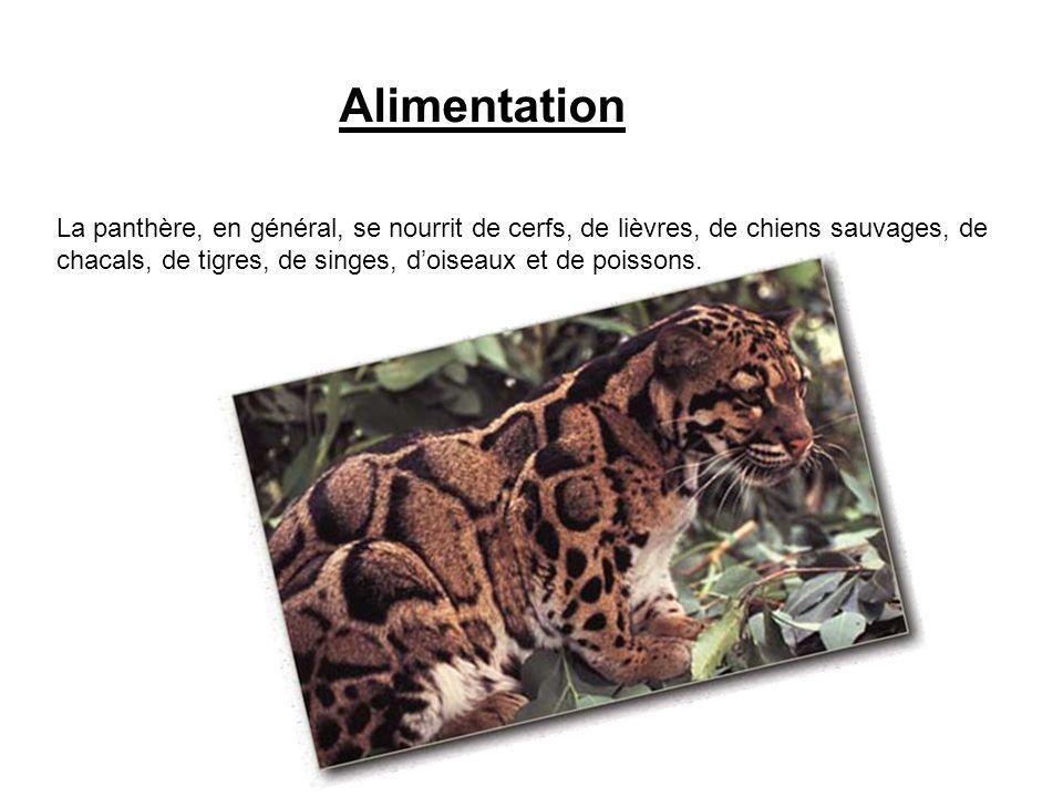 Alimentation La panthère, en général, se nourrit de cerfs, de lièvres, de chiens sauvages, de chacals, de tigres, de singes, doiseaux et de poissons.