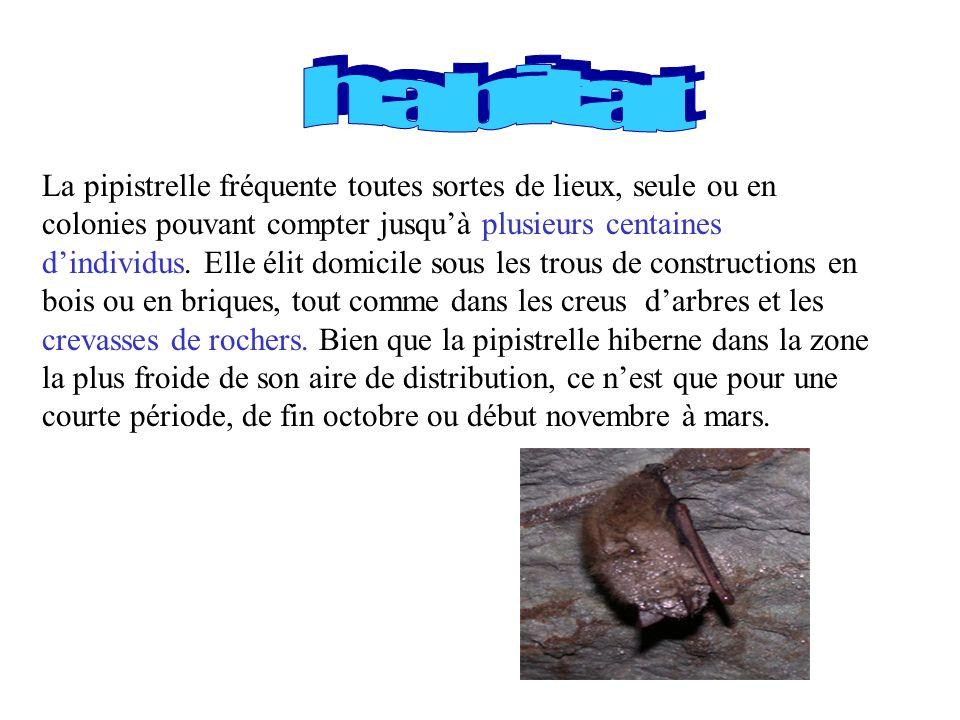 La pipistrelle fréquente toutes sortes de lieux, seule ou en colonies pouvant compter jusquà plusieurs centaines dindividus. Elle élit domicile sous l