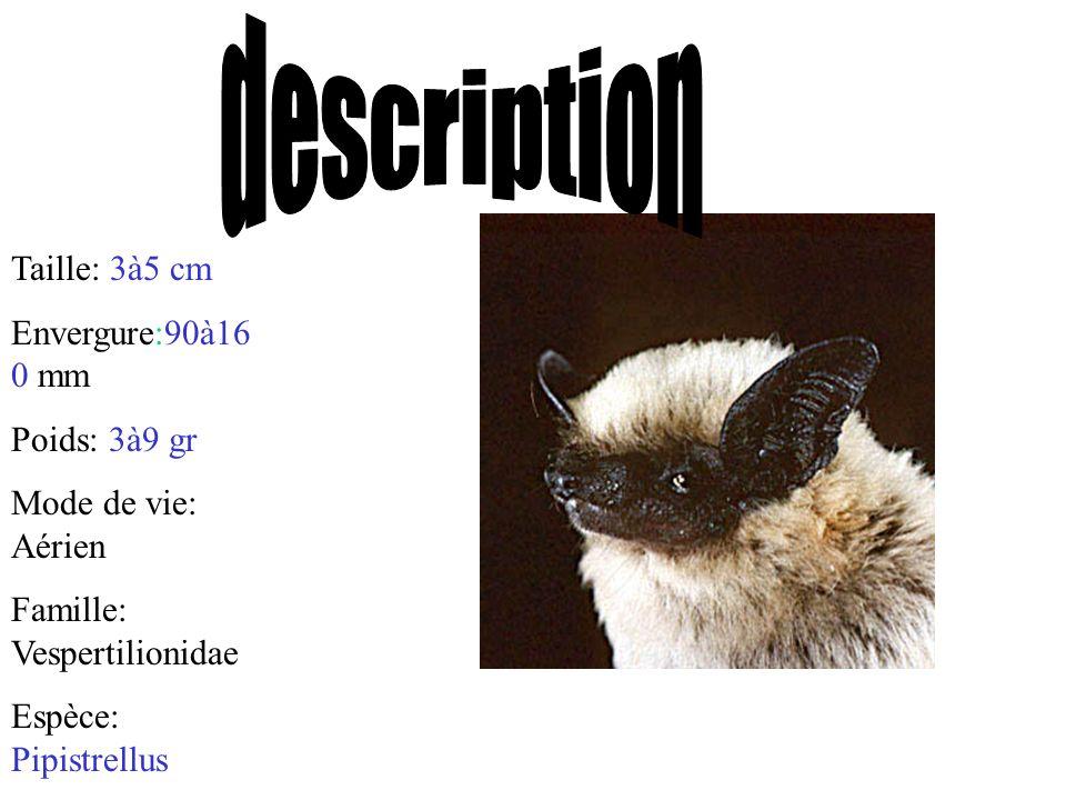 Taille: 3à5 cm Envergure:90à16 0 mm Poids: 3à9 gr Mode de vie: Aérien Famille: Vespertilionidae Espèce: Pipistrellus