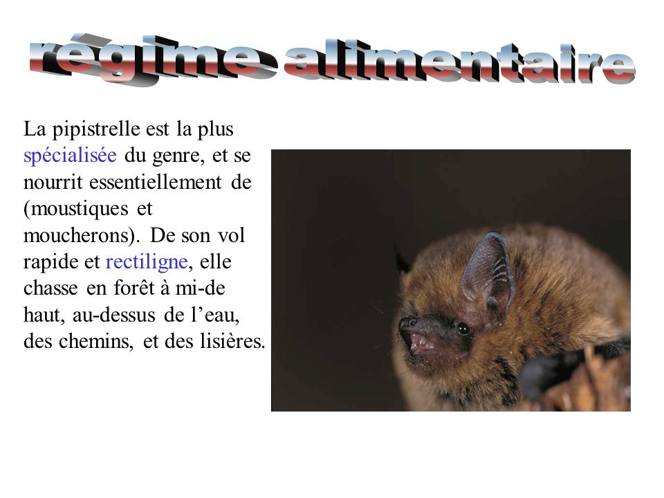 La pipistrelle est la plus spécialisée du genre, et se nourrit essentiellement de (moustiques et moucherons). De son vol rapide et rectiligne, elle ch