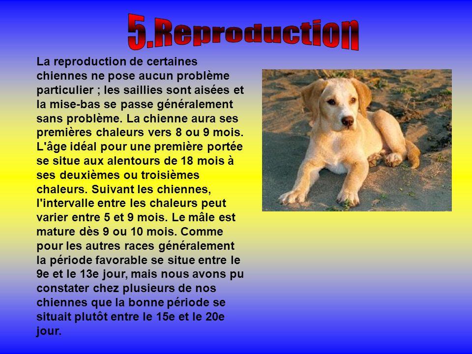 La reproduction de certaines chiennes ne pose aucun problème particulier ; les saillies sont aisées et la mise-bas se passe généralement sans problème.