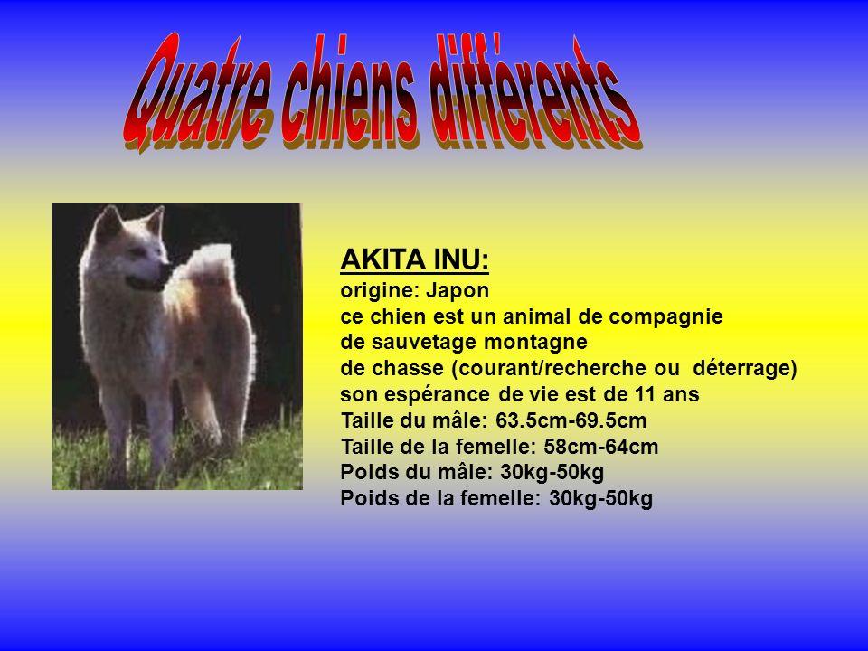 AKITA INU: origine: Japon ce chien est un animal de compagnie de sauvetage montagne de chasse (courant/recherche ou déterrage) son espérance de vie est de 11 ans Taille du mâle: 63.5cm-69.5cm Taille de la femelle: 58cm-64cm Poids du mâle: 30kg-50kg Poids de la femelle: 30kg-50kg