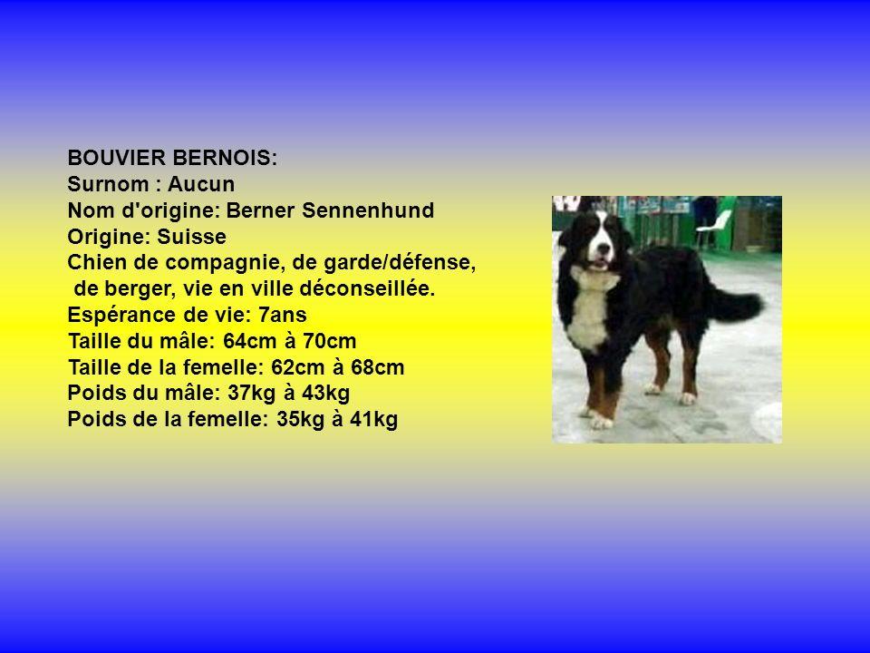 BOUVIER BERNOIS: Surnom : Aucun Nom d origine: Berner Sennenhund Origine: Suisse Chien de compagnie, de garde/défense, de berger, vie en ville déconseillée.