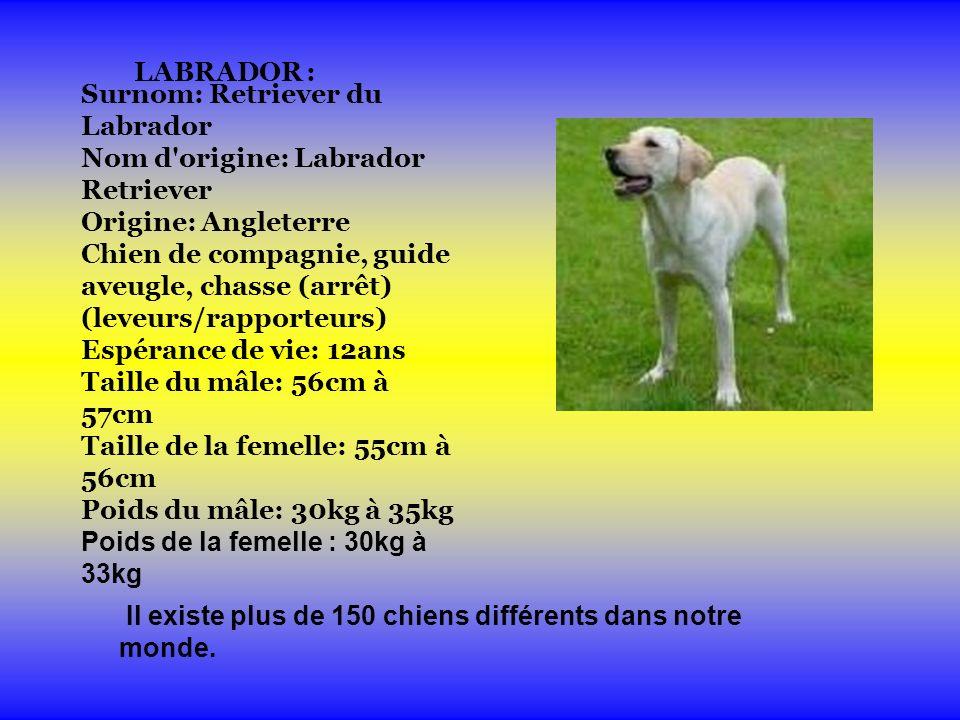 LABRADOR : Surnom: Retriever du Labrador Nom d origine: Labrador Retriever Origine: Angleterre Chien de compagnie, guide aveugle, chasse (arrêt) (leveurs/rapporteurs) Espérance de vie: 12ans Taille du mâle: 56cm à 57cm Taille de la femelle: 55cm à 56cm Poids du mâle: 30kg à 35kg Poids de la femelle : 30kg à 33kg Il existe plus de 150 chiens différents dans notre monde.