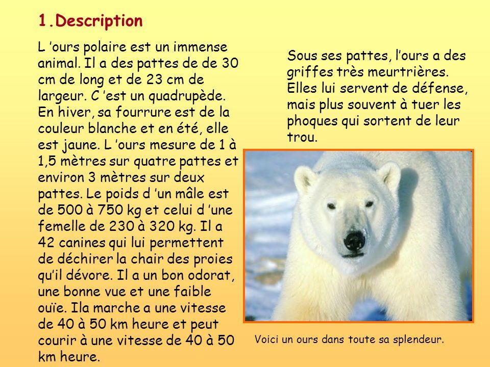 1.Description L ours polaire est un immense animal. Il a des pattes de de 30 cm de long et de 23 cm de largeur. C est un quadrupède. En hiver, sa four