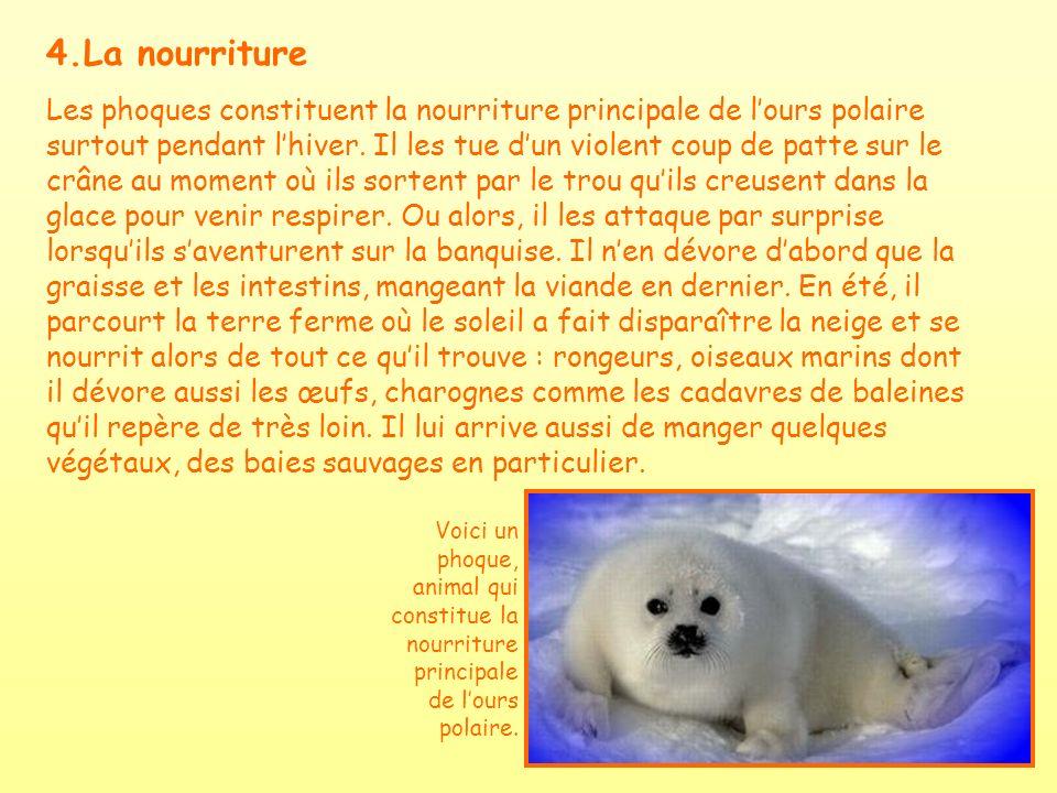 4.La nourriture Les phoques constituent la nourriture principale de lours polaire surtout pendant lhiver. Il les tue dun violent coup de patte sur le
