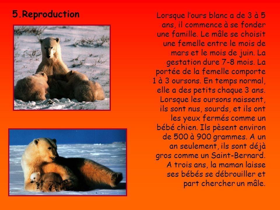 Lorsque lours blanc a de 3 à 5 ans, il commence à se fonder une famille. Le mâle se choisit une femelle entre le mois de mars et le mois de juin. La g