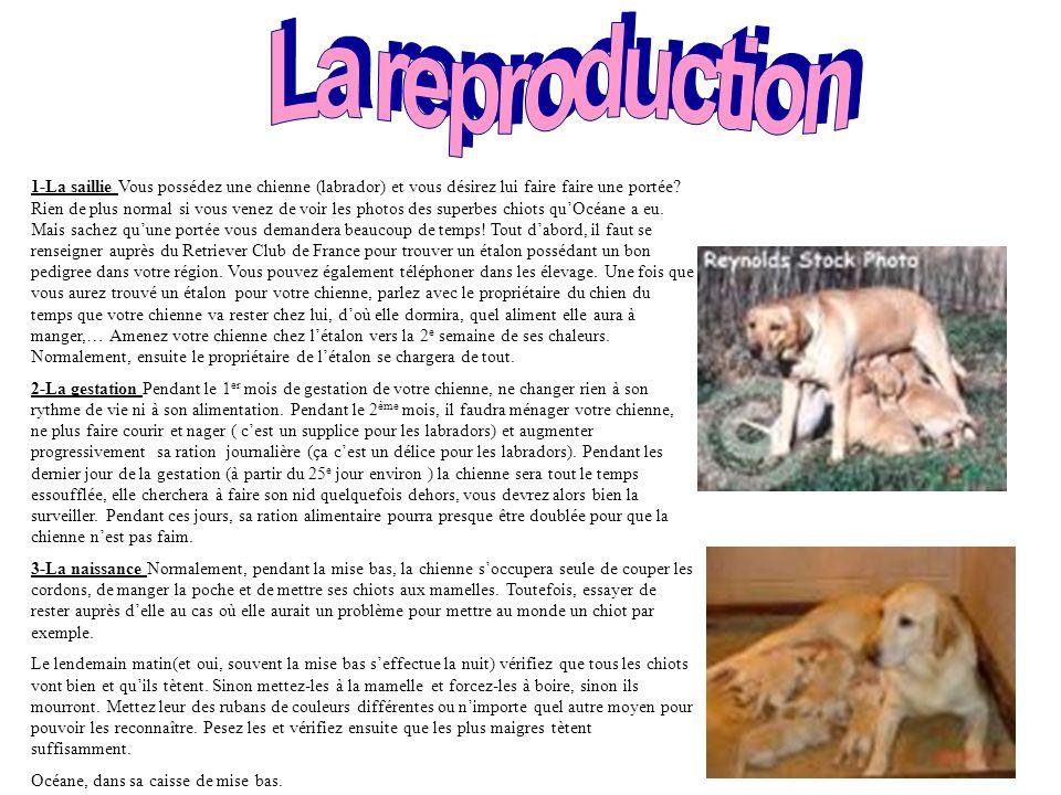 Prédispositions à certaines maladies (Source Wanimo) Aujourd hui, de nombreux labradors ont des problèmes osseux et articulaires (dysplasie de la hanche, dysplasie du coude …).
