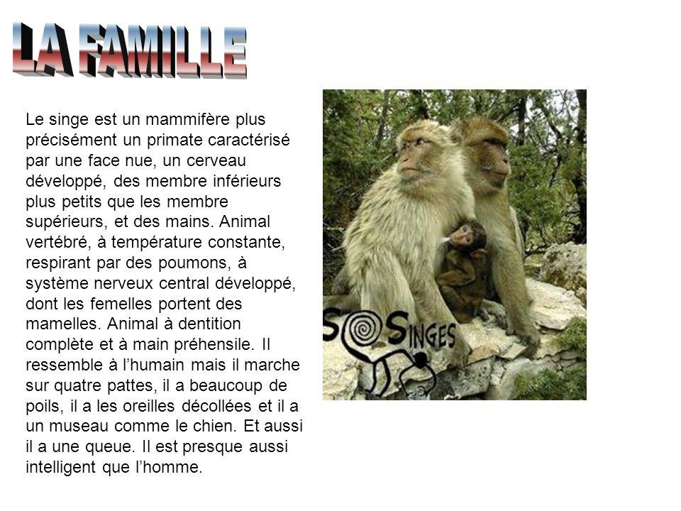 Le singe est un mammifère plus précisément un primate caractérisé par une face nue, un cerveau développé, des membre inférieurs plus petits que les me