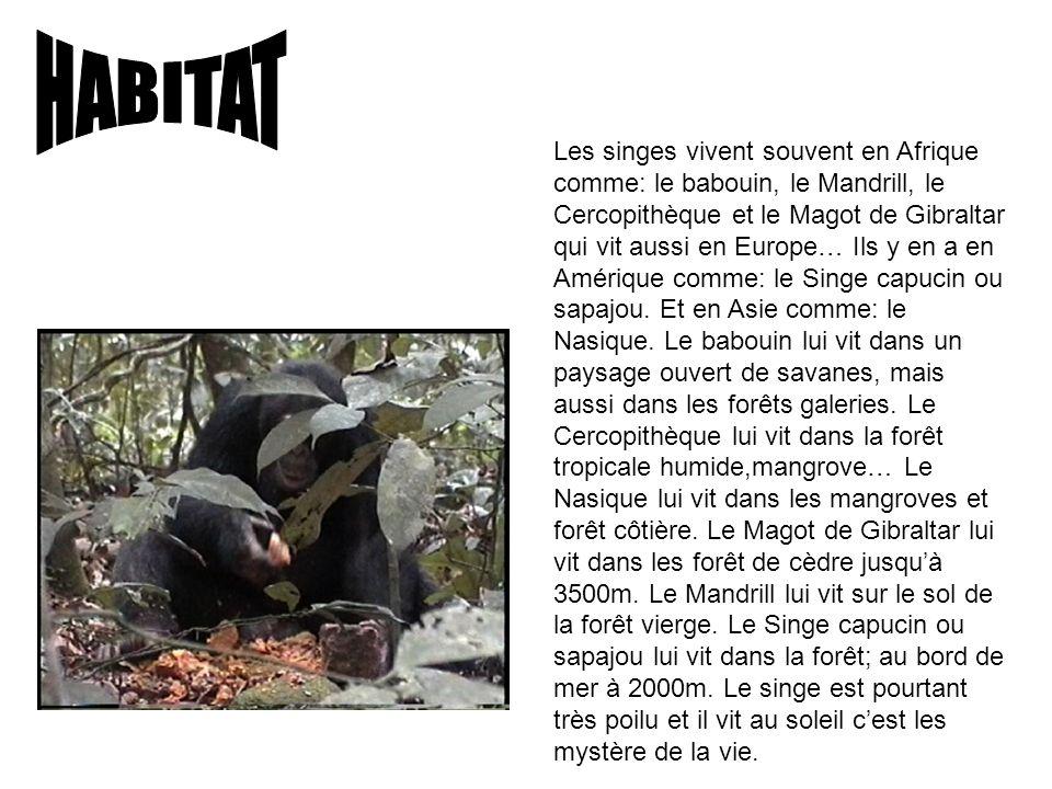 Les singes vivent souvent en Afrique comme: le babouin, le Mandrill, le Cercopithèque et le Magot de Gibraltar qui vit aussi en Europe… Ils y en a en