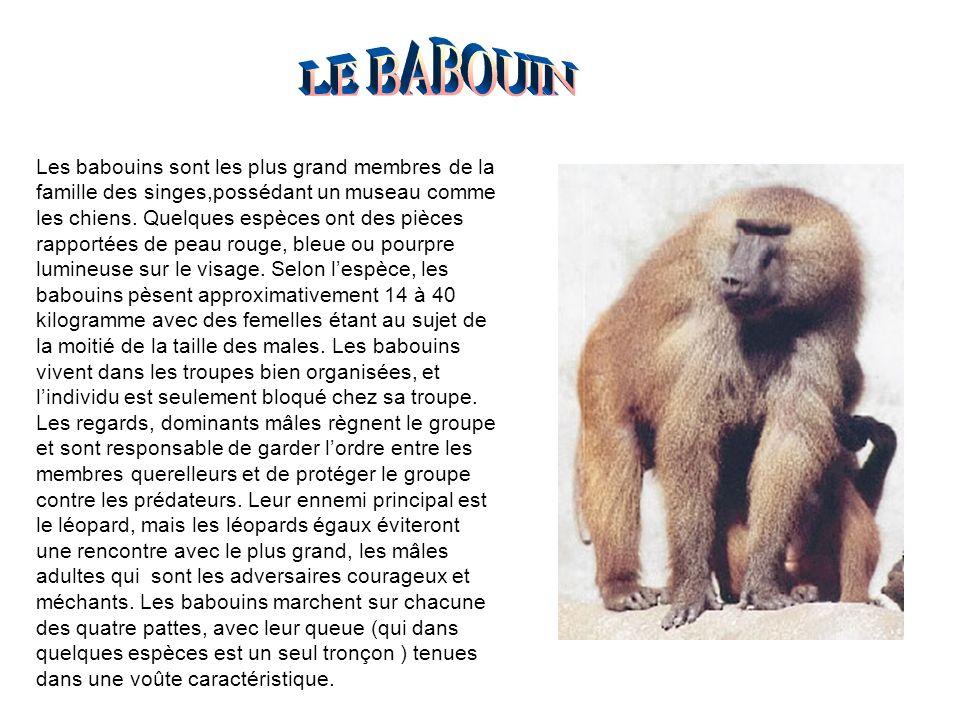 Les babouins sont les plus grand membres de la famille des singes,possédant un museau comme les chiens. Quelques espèces ont des pièces rapportées de