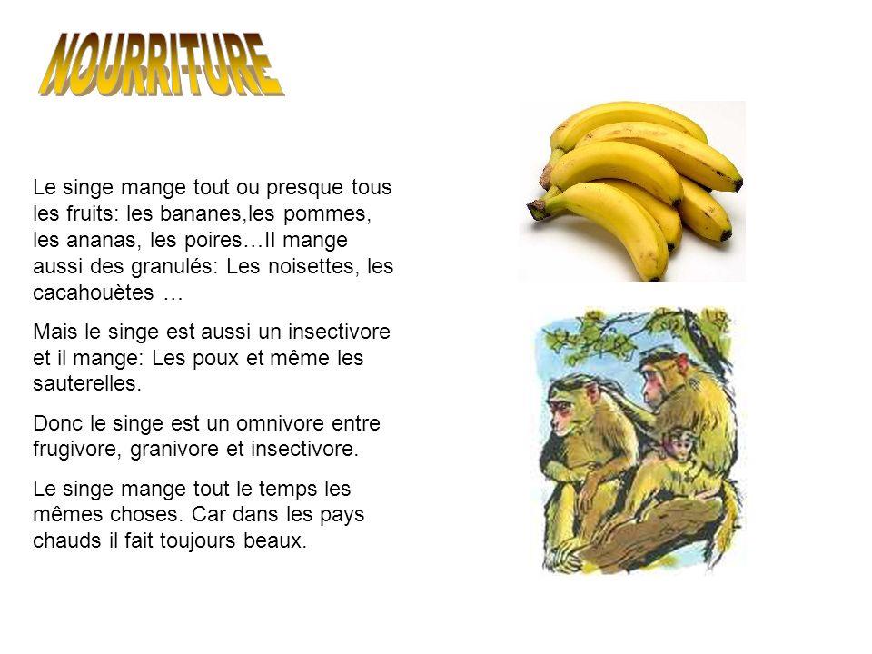 Le singe mange tout ou presque tous les fruits: les bananes,les pommes, les ananas, les poires…Il mange aussi des granulés: Les noisettes, les cacahou