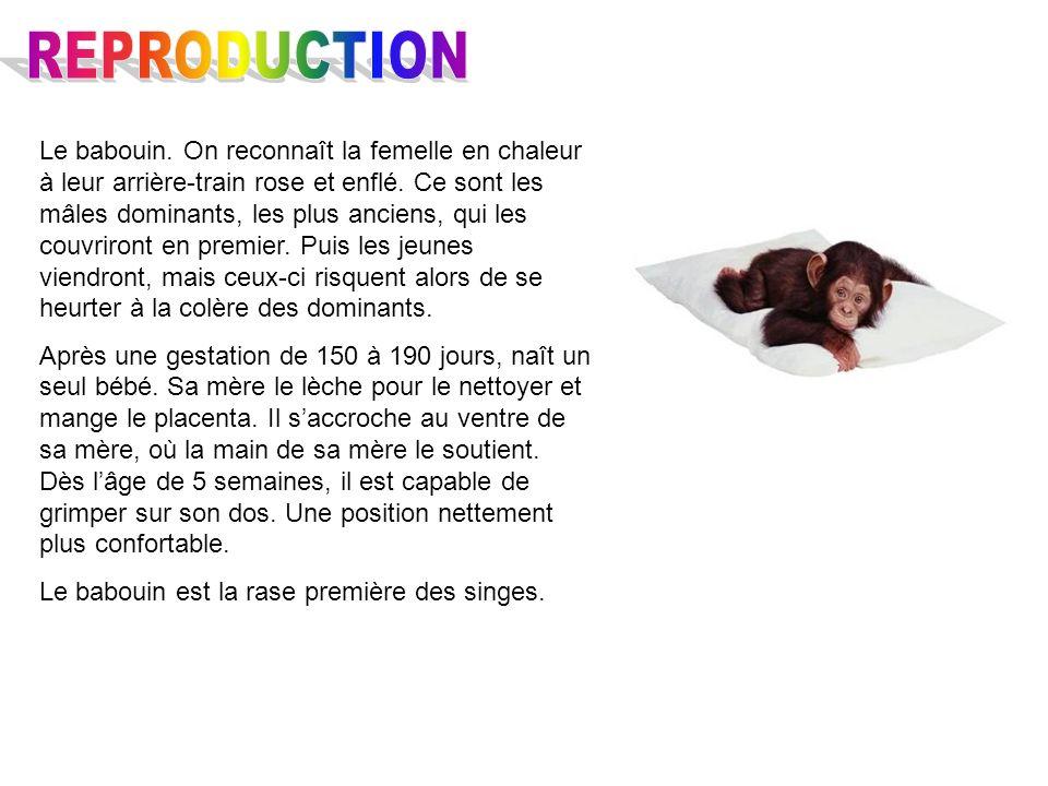 Le babouin. On reconnaît la femelle en chaleur à leur arrière-train rose et enflé. Ce sont les mâles dominants, les plus anciens, qui les couvriront e