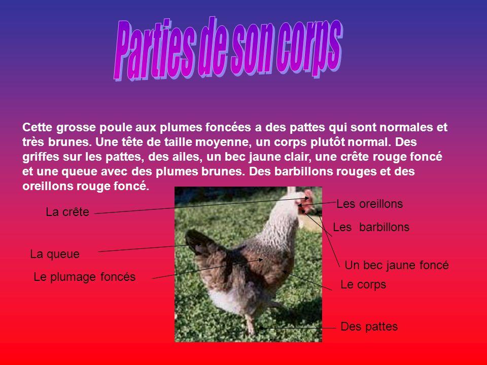 Cette grosse poule aux plumes foncées a des pattes qui sont normales et très brunes. Une tête de taille moyenne, un corps plutôt normal. Des griffes s