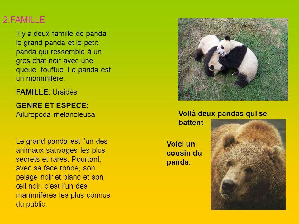 2.FAMILLE Il y a deux famille de panda le grand panda et le petit panda qui ressemble à un gros chat noir avec une queue touffue. Le panda est un mamm